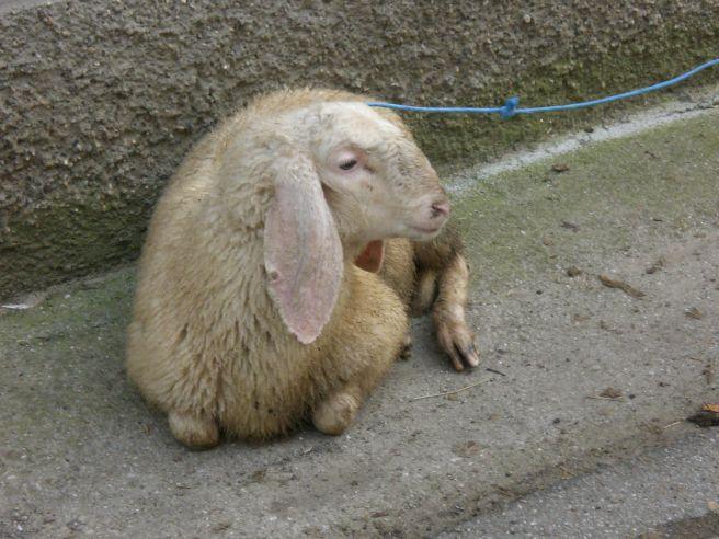 La pecorella smarrita alfiano vecchio piccolo